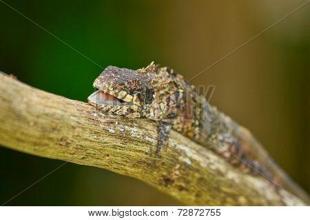 Greater Lizard