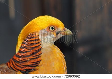 Closeup Of A Male Golden Pheasant
