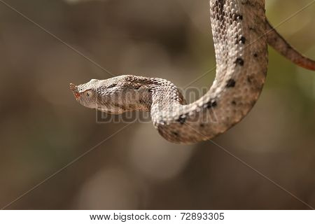 Female European Sand Viper