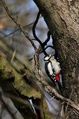 Great Spotted Woodpecker (Dendrocopos major) sitting on a tree trunk. poster