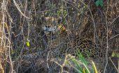 Wild jaguar resting behind plants in riverbank, Pantanal, Brazil poster