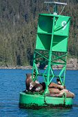 A group of Sea Lions in Prince William Sound poster