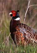 Male ring-necked pheasant in early spring. poster
