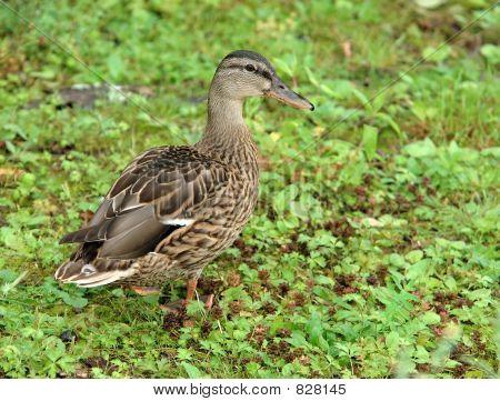 female wild duck