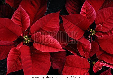 Close Up Of Vibrant Poinsettia Plants