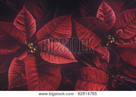 Retro Poinsettia Plant