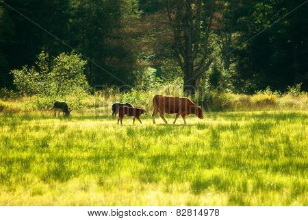 Donkey And Cows Grazing In A Field
