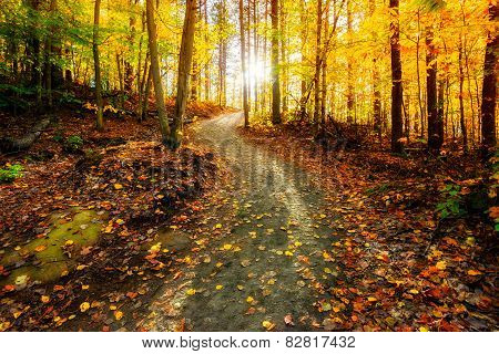 Sun Shining Down The Golden Forest Path