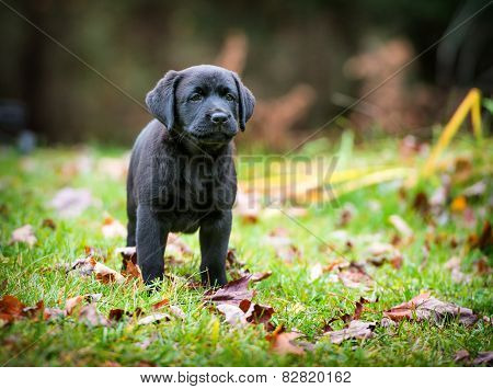 Pure Bred Black Labrador Retriever Puppy