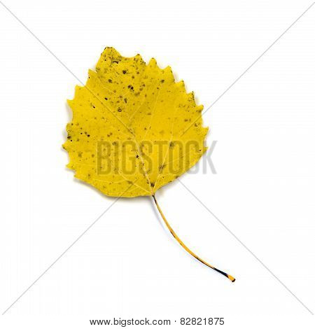 Yellow White Poplar Leaf Isolated On White