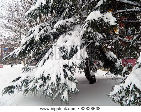 Snow On Pine Branch