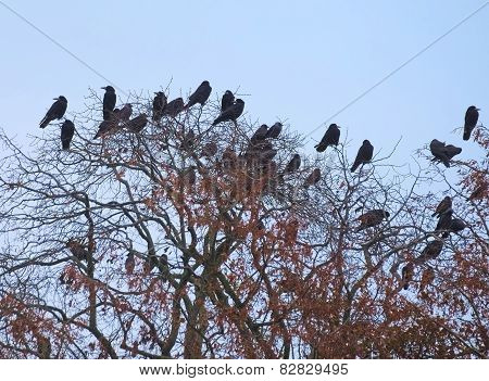 Rooks And Jackdaws On Bare Tree