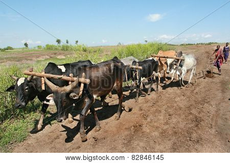 Maasai Plow Pulls The Harness Of Six oxen