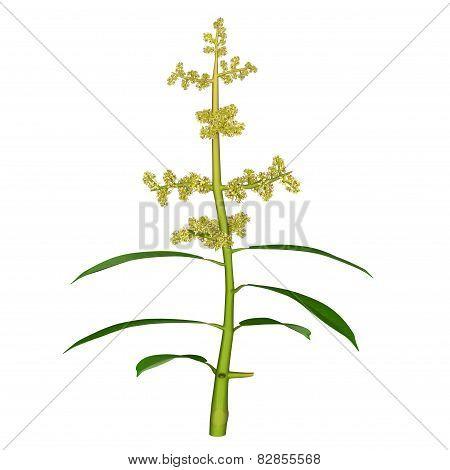 Mangifera Flower
