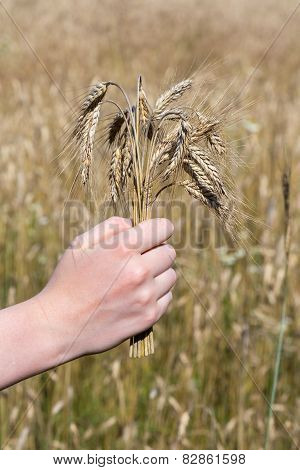 Hand holding corn in front of corn field