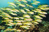 School of yellowfin goatfish (Mulloidichthys vanicolensis) underwater. Andaman sea poster