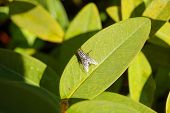 A red eyed fly on a green leaf poster