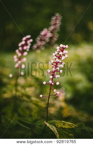 Actaea Alba or White Cohosh