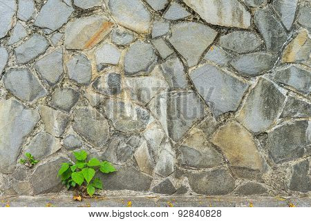 Pipal Leaf Growing Through Crack In Old Sand Stone Wall, For Background And Survival Concept