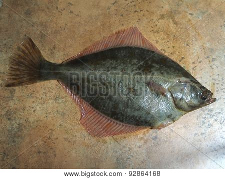 big fish flounder on brown stone background poster