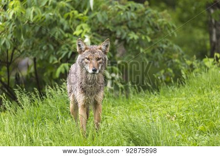 A lone coyote in a forest environment
