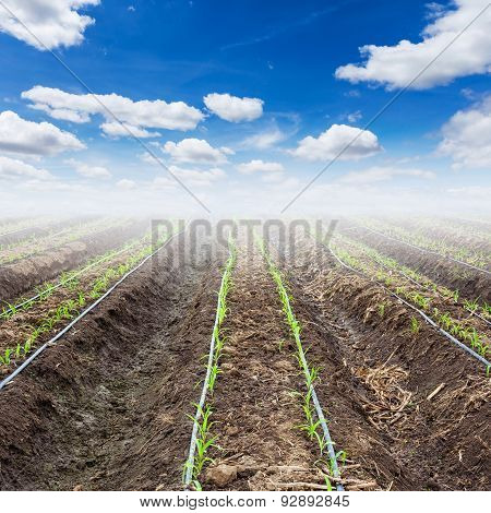 young corn field and blue sky with drip irrigation poster