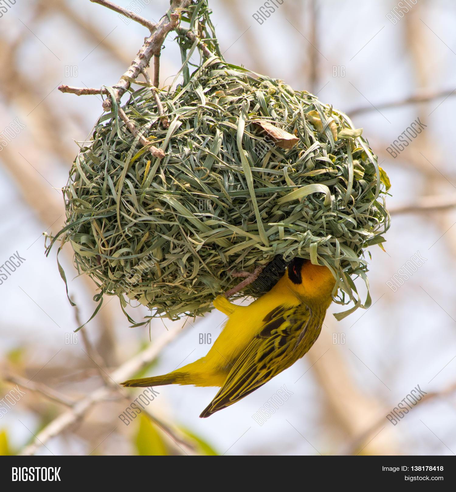 Yellow Masked Weaver Image Photo Free Trial Bigstock