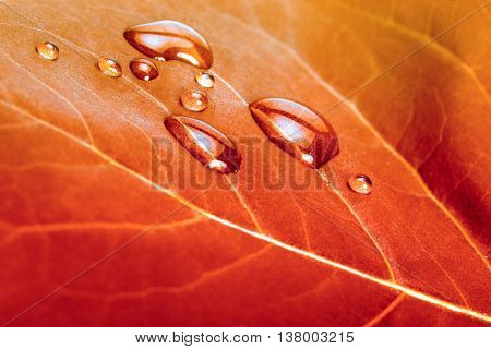 red autumn leaf background with water drops