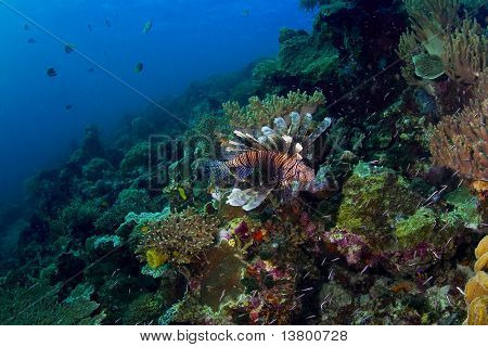 Reef Seascape With Lionfish
