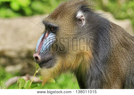 Mandrill (Mandrillus sphinx) looking for food close-up