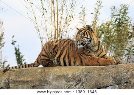 Beautiful and endangered Sumatran Tiger on a rock