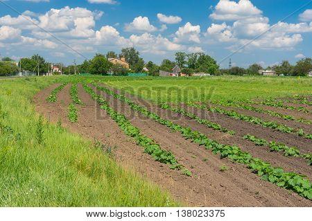June landscape with small pumpkin field in Miloradove village Poltavskaya oblast Ukraine