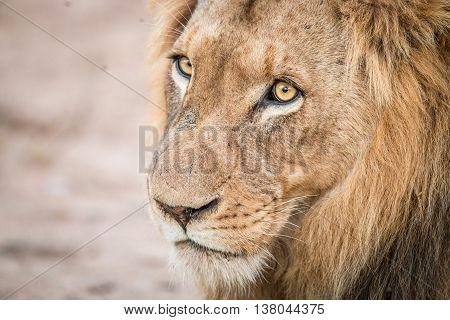Lion Starring In The Kruger National Park.