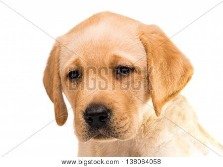 brown labrador puppy isolated on white background