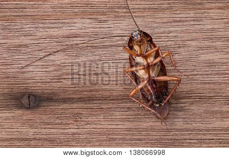 Abstract dead cockroach animal on wooden background.