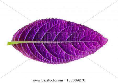 Close up purple leaf isolated on white background.