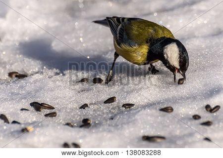 Bird titmouse closeup standing in the snow and pecks seeds