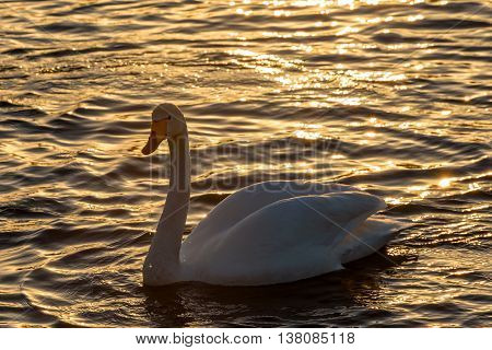 Beautiful winter view with swan in the sunlight swimming in the lake at sunset