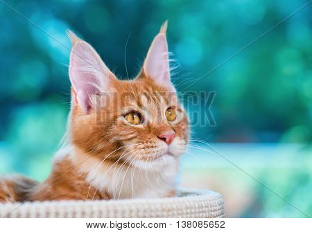 Portrait of domestic red Maine Coon kitten, 5 months old. Cat posing on green outdoor background. Close up.
