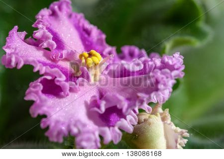 Pink violet flower with wavy border on a blurred background of green leaves