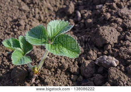 Young strawberry plant freshly planted in the field