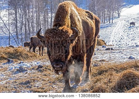 Mammal wild animal bison closeup chews hay in winter sunny day