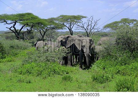 Herd of elephants among acacia trees in the Ngorongoro Crater of Tanzania, Africa