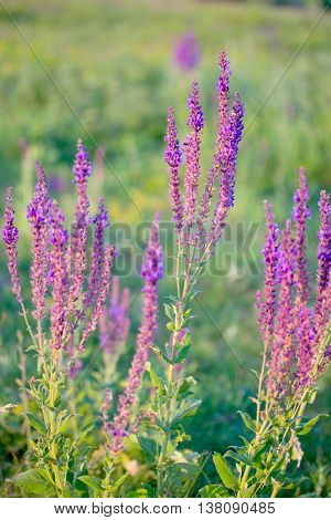 Summer Meadow Purple Lavender Flowers In The Sunset, Selective Focus.