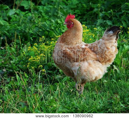 Cock and hens walking on the grass