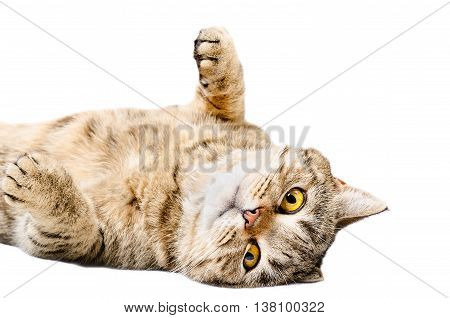 Charming cat Scottish Straight, lying on his back isolated on white background
