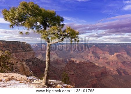 Pine tree growing at the very edge of the Grand Canyon in Grand Canyon Village Arizona.