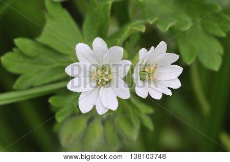Doves foot Cranesbill - Geranium molle Rare white form