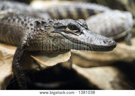 American Alligator Closeup
