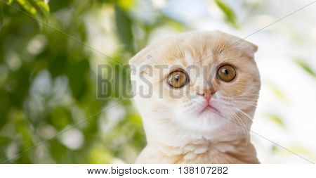 pets, animals and cats concept - close up of scottish fold kitten over green natural background